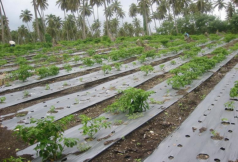 مالچ های پلاستیکی و کاربرد آن در صنعت کشاورزی